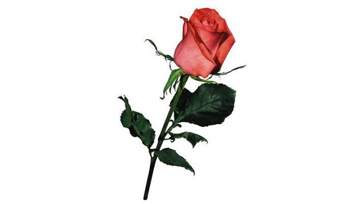 Роза Сочи [Мордовия, 40 см.]
