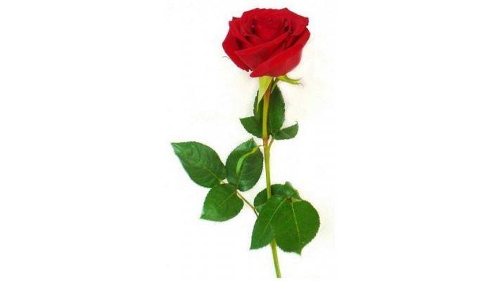 Роза Голландия, [60 см.]