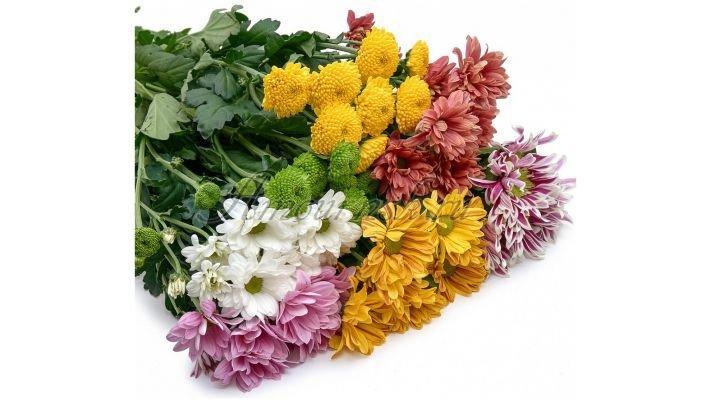 Хризантема [кустовая микс, 60 см.]